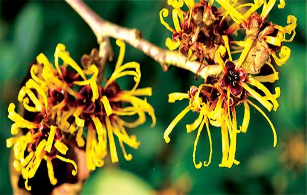 گیاه هاماملیس